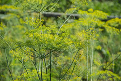 Flowering green dill herbs plant in garden Anethum graveolens. Closeup of fennel flowers on summer time. Agricultural background Stock Photos