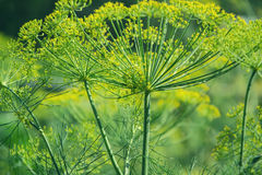 Flowering green dill herbs plant in garden Anethum graveolens. Closeup of fennel flowers on summer time. Agricultural background Royalty Free Stock Photos