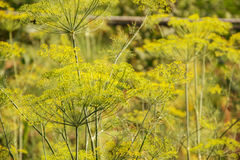 Flowering green dill herbs plant in garden Anethum graveolens. Closeup of fennel flowers on summer time. Agricultural background Royalty Free Stock Photography