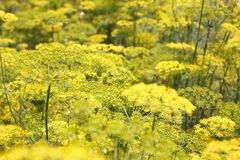 Flowering green dill herbs plant in garden. Closeup of fennel flowers on summer field. Agricultural background. Summertime rural scene. Traditional ingredients Stock Photos