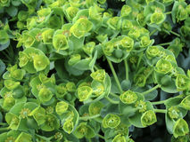 Flowering green leafy spurge in spring in the garden Royalty Free Stock Photo