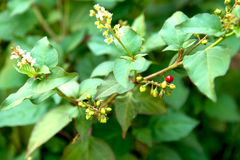 Flowering green plant with red berry like balls Royalty Free Stock Photography