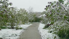 Spring park during a snowfall. Flowering green shrubs bent to the ground under the snow during the spring snowfall stock footage