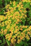 Euphorbia esula Stock Photo