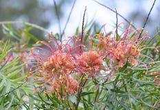 Flowering Grevillea Stock Image