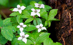 Flowering Ground Dogwood Royalty Free Stock Photo