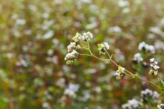 Flowering growing buckwheat plant in agricultural field. Crop. Flowering growing buckwheat plant in agricultural field. Buckwheat Flower is attracting royalty free stock photos