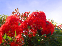 Flowering gum tree Royalty Free Stock Images