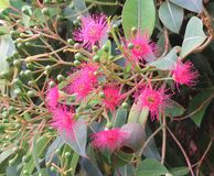 Flowering Gum Tree flowers and buds. Closeup of pink Flowering Gum Tree flowers and buds Stock Photo