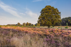 Flowering haether fields i of the Veluwe n the evening sun in th Royalty Free Stock Photos