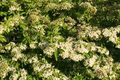 Flowering Hawthorn Stock Photography
