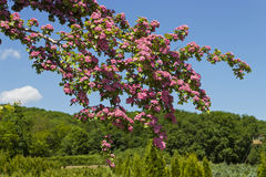 Flowering hawthorn Stock Images