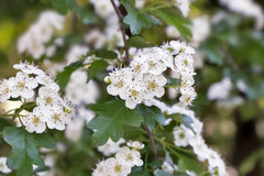 The flowering hawthorn branch on a background of green garden. Royalty Free Stock Photography