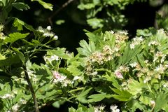 Flowering hawthorn. Flowers and leaves of whitethorn. Crataegus Stock Photos