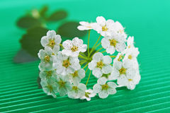 Flowering hawthorn Stock Image