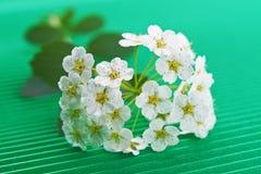 Flowering hawthorn Stock Image