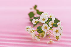 Flowering hawthorn Royalty Free Stock Photo