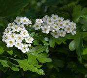 Flowering hawthorn in springtime Stock Photography