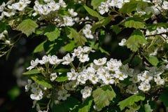 Flowering hawthorn tree Stock Photo