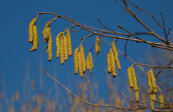 Flowering hazel Stock Images