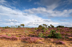 Flowering heather and blue sky Royalty Free Stock Photo