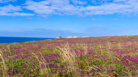 Flowering Heather Brittany France Stock Photo