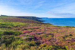Flowering Heather Brittany France Stock Photography