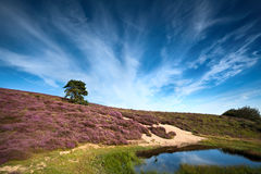 Flowering heather close to wild pond Royalty Free Stock Photos