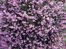 Flowering heather close up Stock Photos