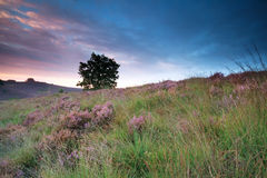 Flowering heather on hill at sunrise Stock Images
