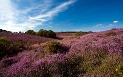 Flowering heather on hills Stock Photos