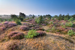 Flowering heather on hills Stock Images