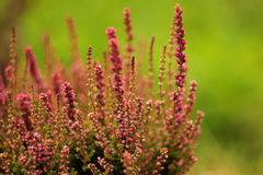 Flowering heather isolated on green background Stock Photography