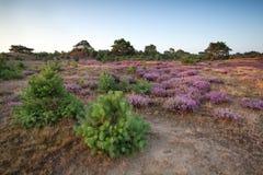 Flowering heather on meadows Stock Photo