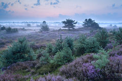 Flowering heather in misty morning Stock Photo