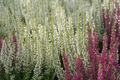 Flowering heather plants Royalty Free Stock Image