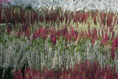 Flowering heather plants Stock Photo