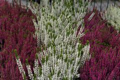Flowering heather plants Royalty Free Stock Images