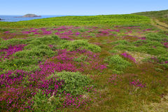 Flowering heather, St. Martins Royalty Free Stock Photos