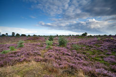 Flowering heather in summer Stock Images