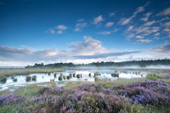 Flowering heather on swamps in misty morning Stock Photography