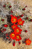 Flowering Hedgehog Cactus Royalty Free Stock Photo