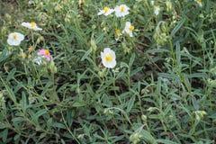 Flowering Helianthemum apenninum plants in spring. Flowering Helianthemum apenninum plants in late spring Stock Photos