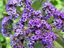 Flowering heliotrope (Heliotrpium) Stock Images
