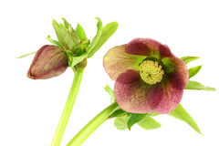 Flowering Helleborus Royalty Free Stock Photo
