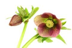Flowering Helleborus Royalty Free Stock Photo
