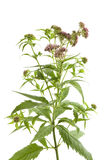 Flowering Hemp Agrimony Stock Image