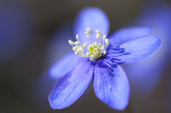Flowering Hepatica nobilis during spring in sweden Royalty Free Stock Photography