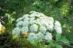 Flowering Heracleum forest plants. Siberia. Stock Photo