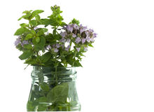 Flowering herbs oregano Stock Image
